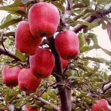 供應美國紅蛇果蘋果苗,蘋果苗批發,蘋果苗基地