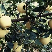 供应维纳斯黄金苹果苗