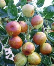 供应中华大梨枣,梨枣价格,梨枣基地