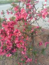 木瓜海棠苗,世界一海棠,海棠盆景