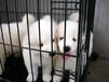 现在珠海的萨摩耶幼犬卖多少钱?哪家狗场宠物店比较有口碑?