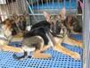 珠海哪里有卖纯种的德国牧羊犬的最好的德牧多少钱