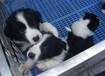 珠海地区哪有纯种边境牧羊犬幼犬出售,边境牧羊犬什么价格,边境牧羊犬图片