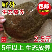 潢川甲鱼豫川甲鱼生态老鳖水鱼团鱼王八外塘中华鳖活体包邮