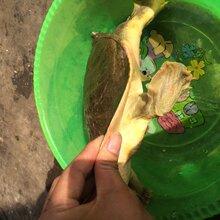 豫川甲鱼哪里有卖的豫川甲鱼的价格豫川甲鱼质量怎么样