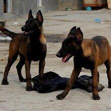 马犬训练技术马犬价格三个月马犬性格