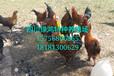 供应土鸡养殖技术,鸡苗批发,鸡苗供应,云南鸡苗批发