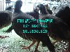 四川鹧鸪苗批发,出售鹧鸪苗,供应鹧鸪苗,鹧鸪苗的价格,鹧鸪苗