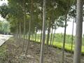 南阳出售五角枫/法桐种植基地159-9372-0369图片