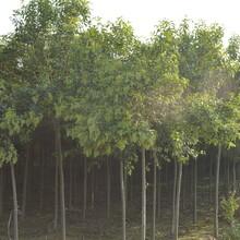 霍州出售法桐/苹果树苗种植基地159-9372-0369