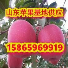 山東紅星蘋果現在多少錢一斤紅星蘋果產地價格圖片