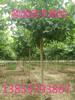 鑫恒20公分法桐1.2米量绿化20公分法桐树价格