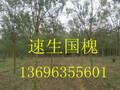 山东国槐图片