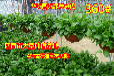 广州百亩绿萝成本价批发零售种植基地绿萝的批发价格全国发货