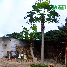 Senlin厂家直销仿真棕榈树人造老人葵玻璃钢材质,树干可用10年仿真树叶图片