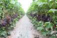 供应齐香园葡萄