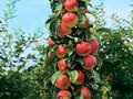 补栽映霜红桃苗的注意事项有哪些图片