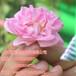 大马士革玫瑰苗可食用玫瑰种植
