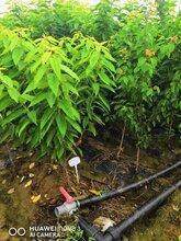 2公分樱桃树单价、2公分樱桃树市场保证质量