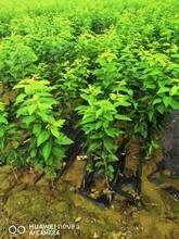 5公分樱桃树报价、5公分樱桃树批发保证质量图片
