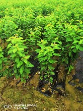 美早矮化樱桃苗价格两年苗图片