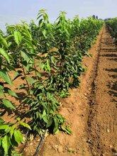 矮化樱桃苗种植方式