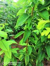 2公分樱桃树市场保证质量