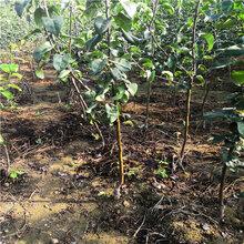 秋月梨树苗几月成熟、基地梨树苗容易管理