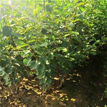5公分李子樹苗、藍蜜李子苗價格圖片