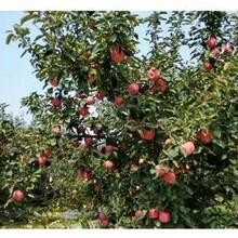 新品种苹果苗哪里的便宜?、1年苹果苗哪里有?图片