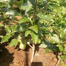 維納斯黃金蘋果苗、1公分蘋果苗價格低圖片