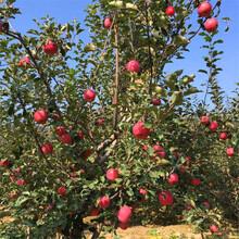 維納斯黃金蘋果苗、供應蘋果苗市場行情圖片