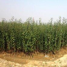 早熟苹果苗、新品种苹果苗成活率高