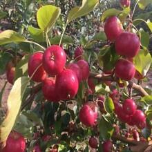 紅富士蘋果苗、2年蘋果苗全國批發價格低圖片