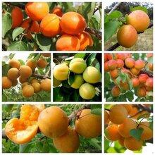 凯特杏树苗、1公分杏树苗价格