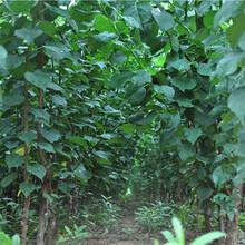 珍珠油杏树苗成活率高、1年杏树苗哪里的质量好?图片