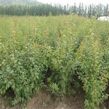 大水杏樹苗、3公分5公分杏樹苗價格低圖片