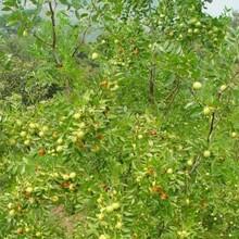金太阳杏树苗一棵结多少斤、2年杏树苗哪里便宜?图片