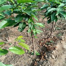 3公分櫻桃樹苗價格、3公分櫻桃樹苗單價圖片
