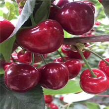 1公分櫻桃樹報價、1公分櫻桃樹單價圖片