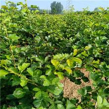 甜紅子山楂苗、新品種山楂苗行情怎么樣圖片
