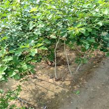 山楂苗、5年山楂苗種植基地圖片
