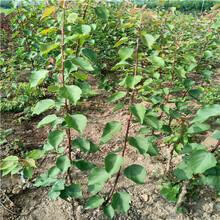 荷蘭香蜜杏樹苗、1公分杏樹苗全國批發價格低圖片