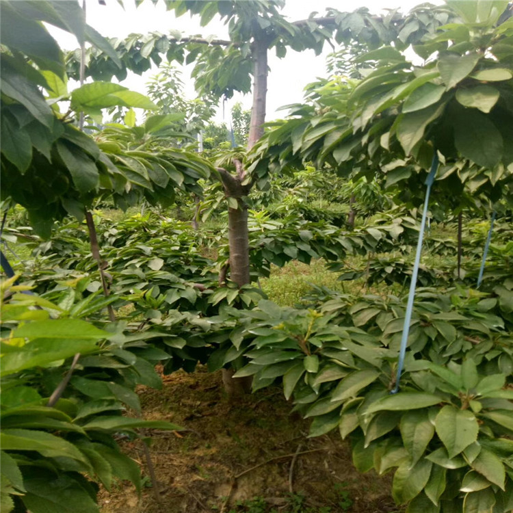 櫻桃種苗售價_3公分櫻桃樹單價