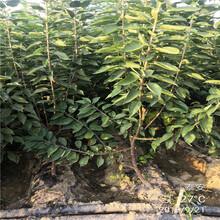 5公分櫻桃樹價格_單價圖片