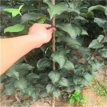 蘋果樹苗種植圖片
