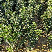 維納斯黃金蘋果苗售價及單價圖片