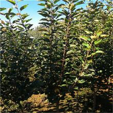 富士蘋果苗種植圖片