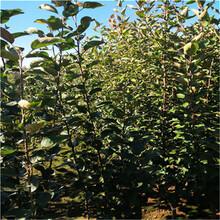 蘋果苗栽培及價格圖片