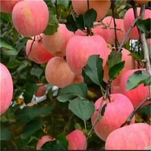 紅富士蘋果苗種植圖片
